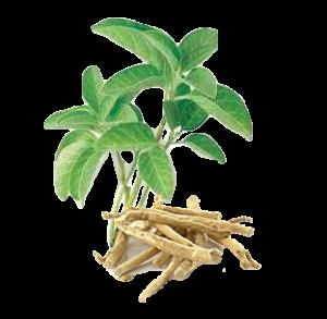 planta ashwagandha